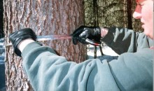 Measuring the circumberence of a spruce tree.