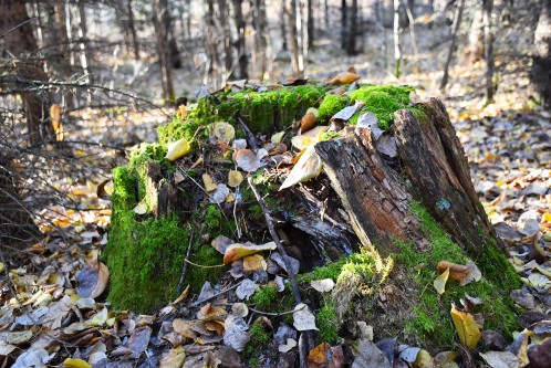 Mossy stump in fall.