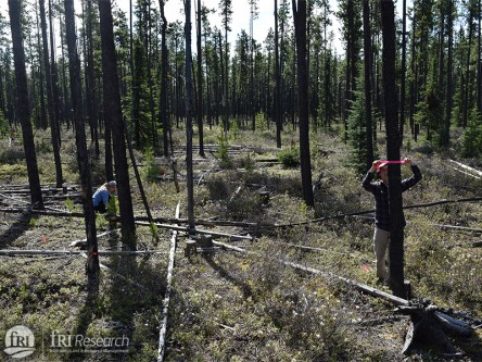 Can forestry and silviculture practices help increase caribou functional habitat in west-central Alberta?