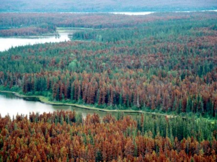 Effects of Mountain Pine Beetle Attack on hydrology and post-attack vegetation and hydrology recovery in lodgepole pine forests in Alberta