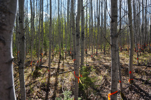 Aspen forest in the fall, with orange flagging tape on the trees.